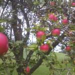 Apfelbaum 3